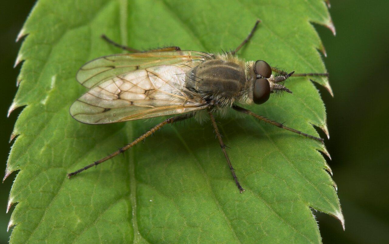 Diptera-8062.jpg