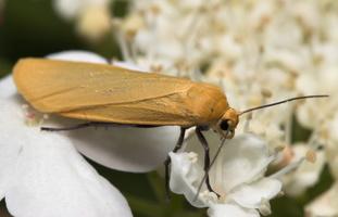 Wittia sororcula · gelsvoji kerpytė