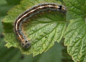 Malacosoma neustria caterpillar · žieduotasis verpikas, vikšras