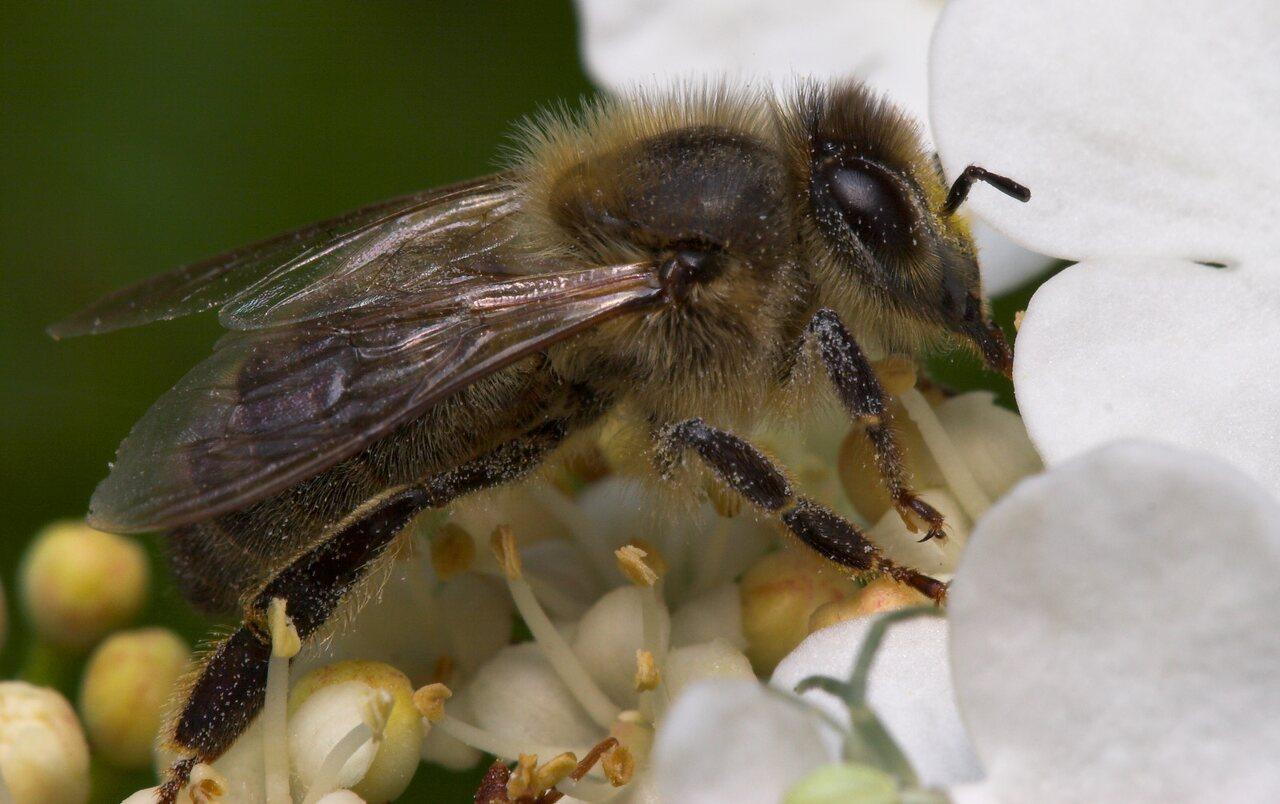 Apidae-8077.jpg