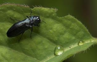 Agrilus cyanescens · siaurablizgis