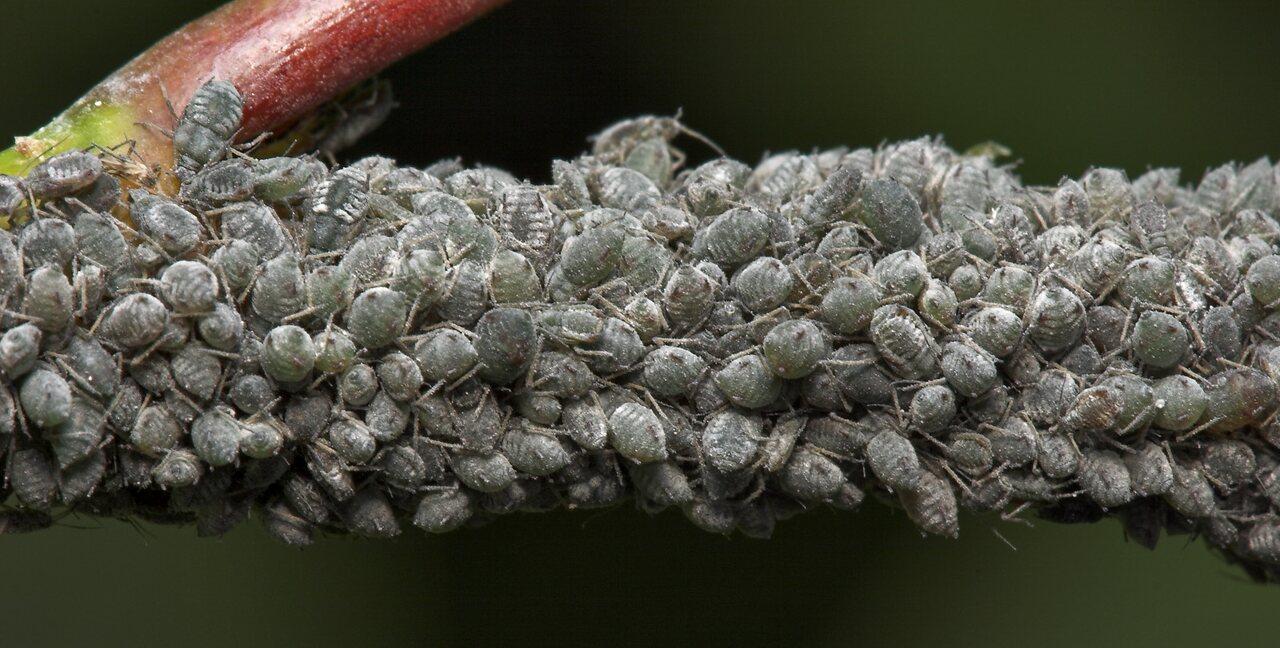 Aphidoidea-8092.jpg