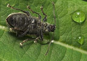 Curculionidae · straubliukas