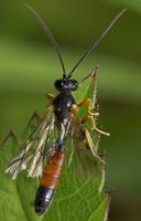 Hymenoptera 8099