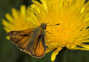 Thymelicus sylvestris male · raudonbuožis storgalvis ♂