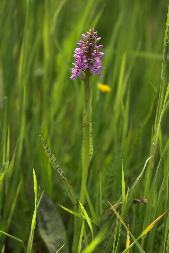 Dactylorhiza-8105.jpg