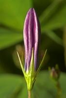 Campanula patula · pievinis katilėlis