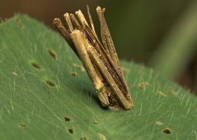 Psyche casta larva case · mažoji psychė, vikšro namelis