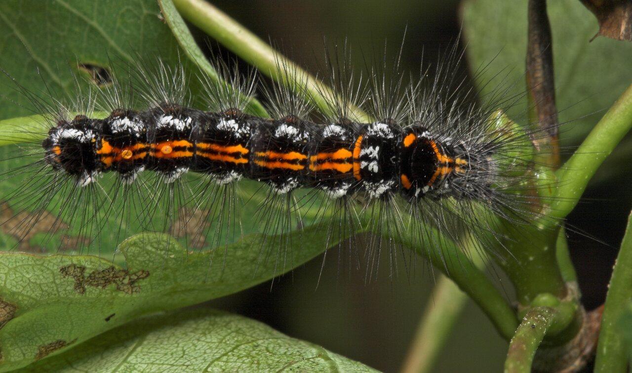 Euproctis-similis-8121.jpg