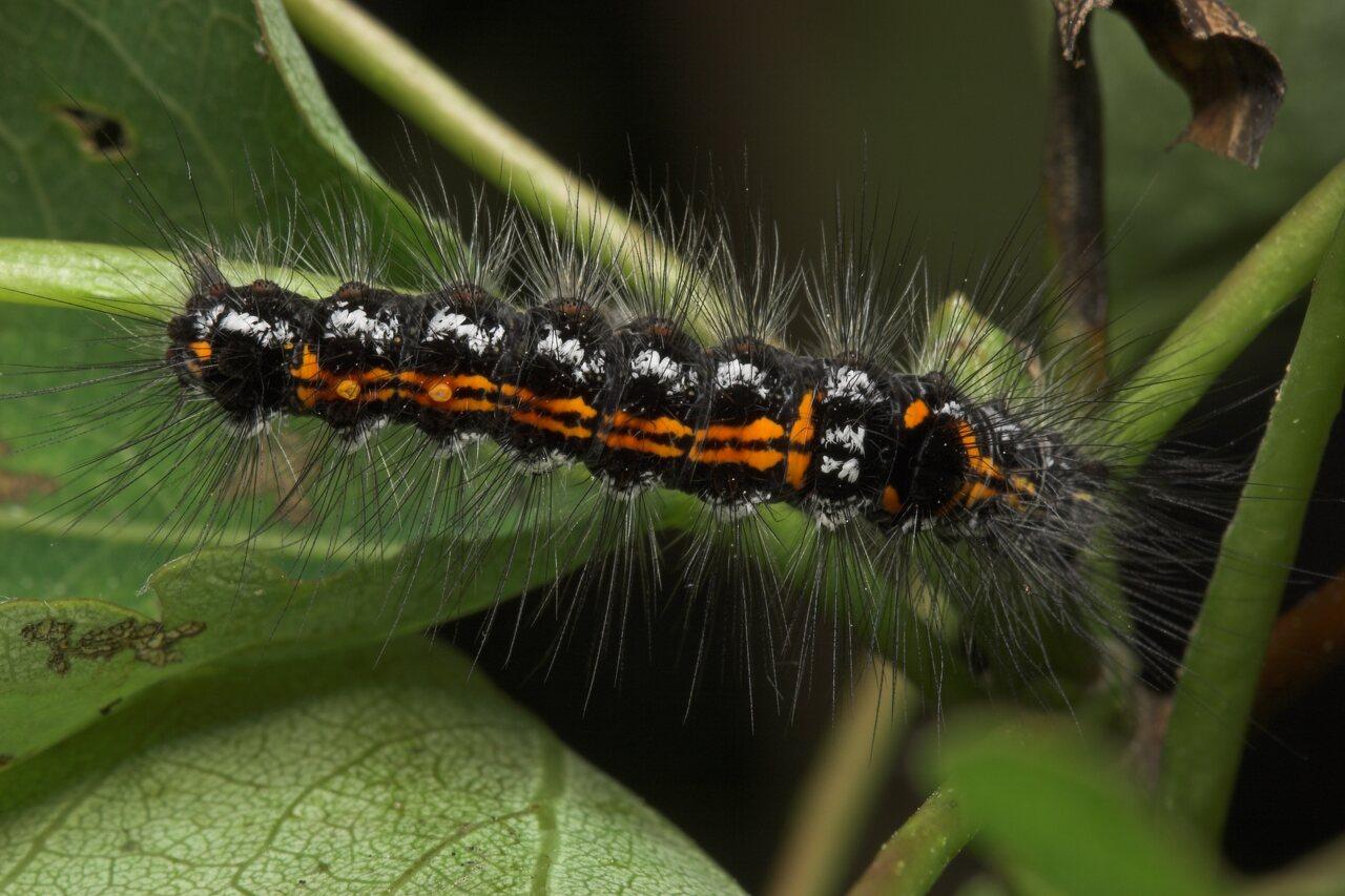 Euproctis-similis-8122.jpg