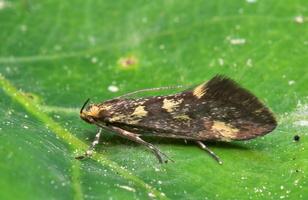 Denisia similella · mažoji denisija