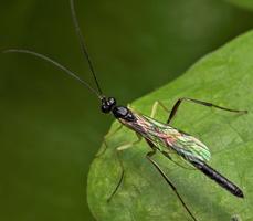 Hymenoptera 8127