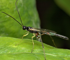 Hymenoptera 8130