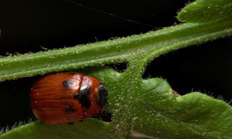Gonioctena viminalis · žilvitinis dygblauzdis