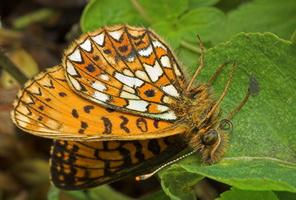 Boloria selene · pievinis perlinukas