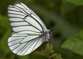Pieridae · baltukai