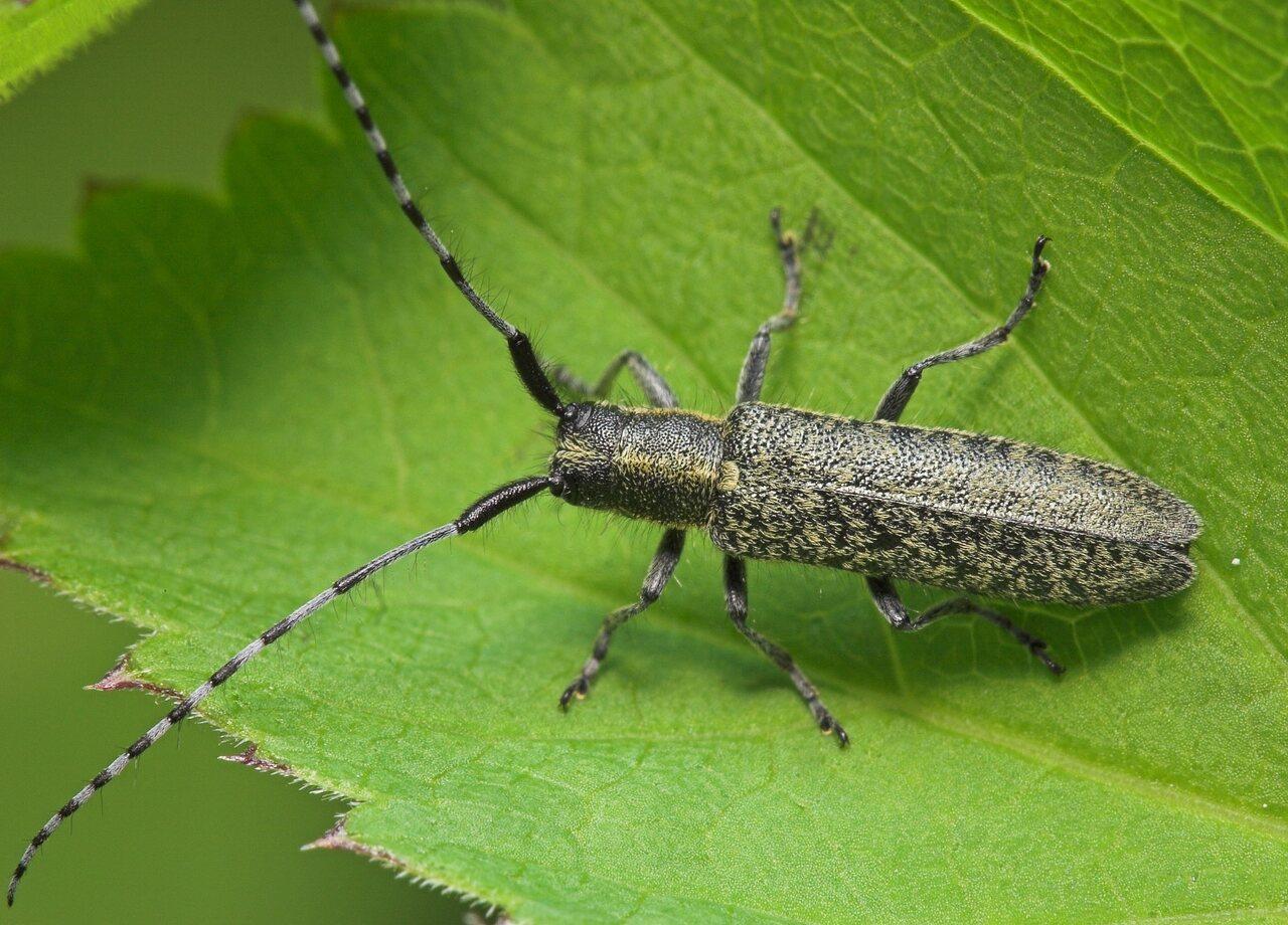 Agapanthia-villosoviridescens-8160.jpg