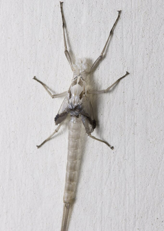 Ephemeroptera-8257.jpg