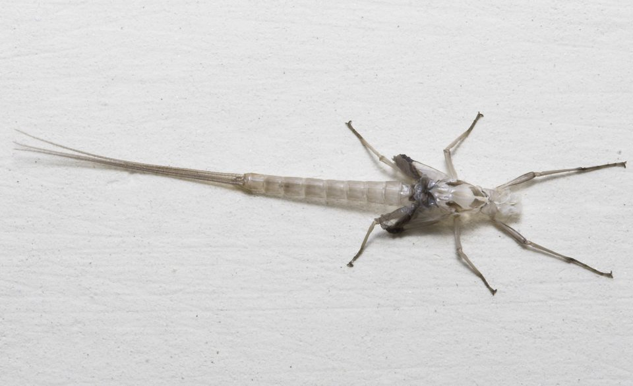 Ephemeroptera-8258.jpg