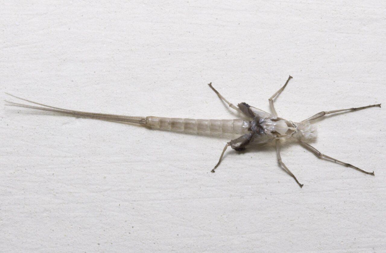 Ephemeroptera-8259.jpg