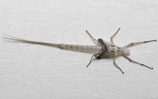 Ephemeroptera subimago exuviae · lašalo išnara