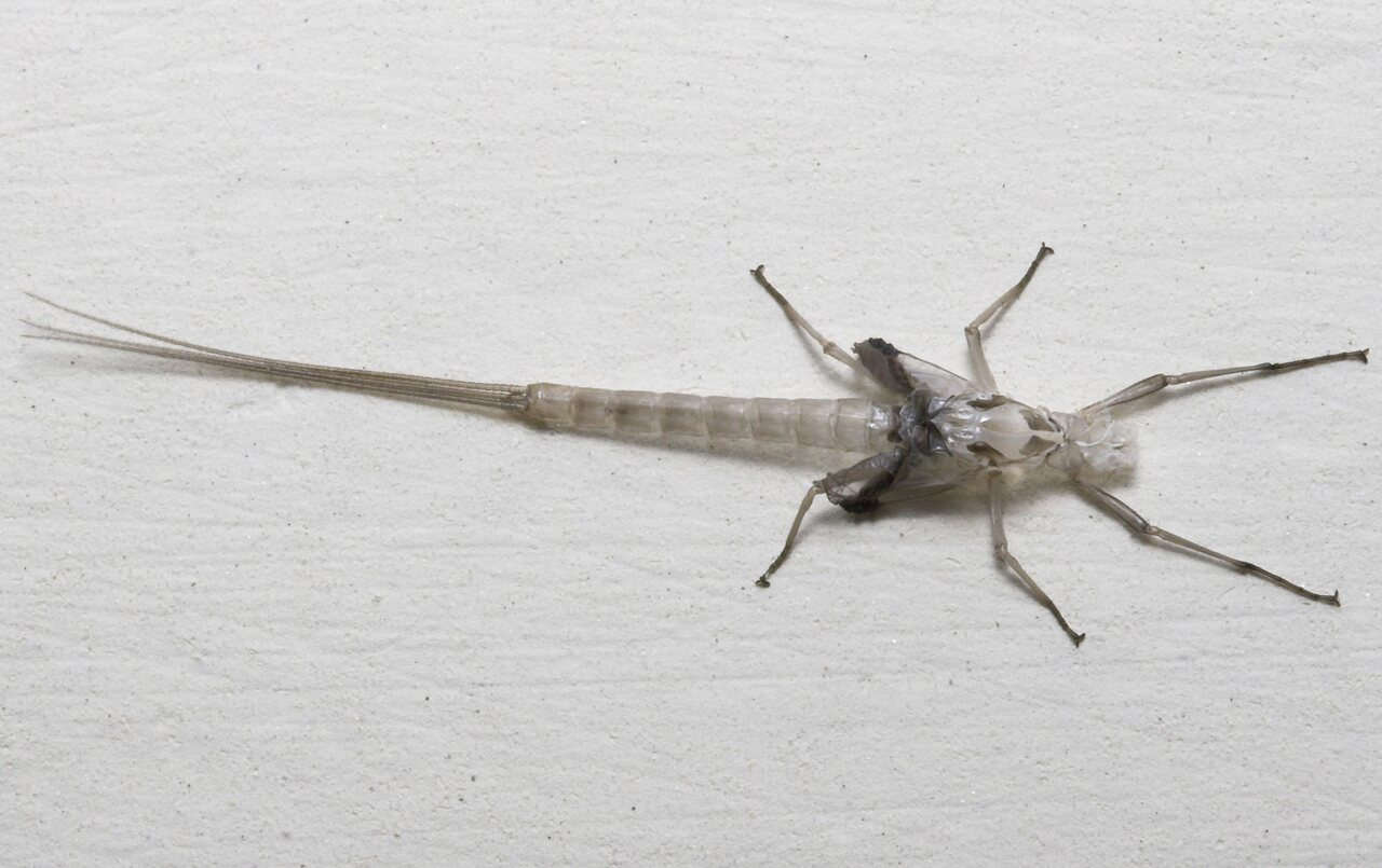 Ephemeroptera-8262.jpg