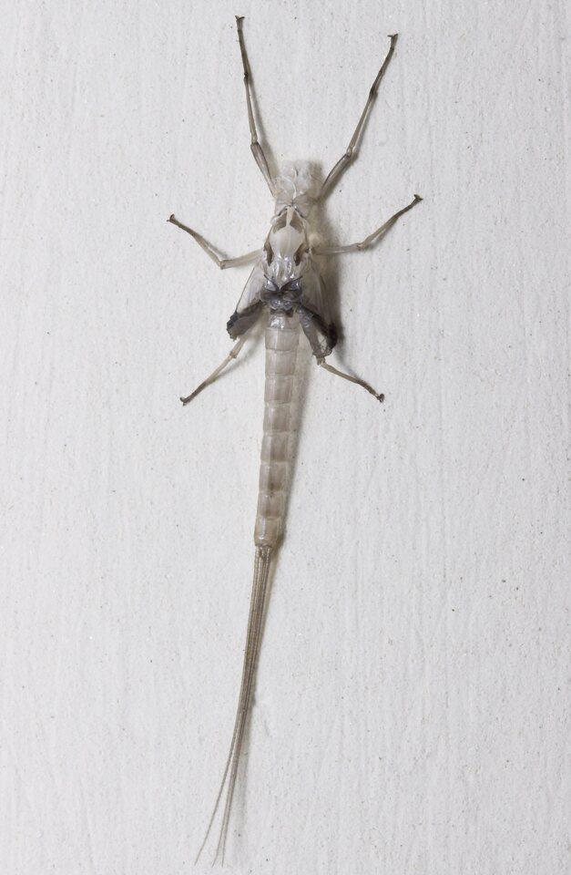 Ephemeroptera-8263.jpg