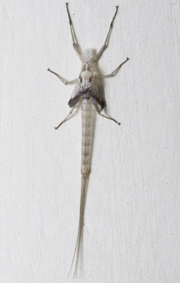 Ephemeroptera-8264.jpg