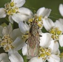 Diptera 8282