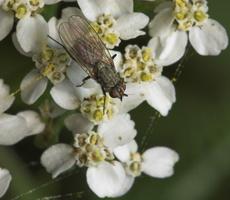 Diptera 8283