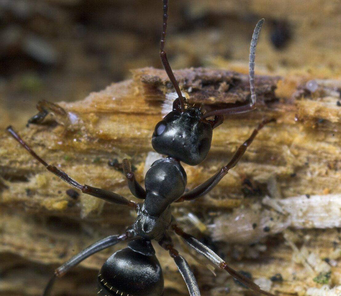 Formicidae-8672.jpg