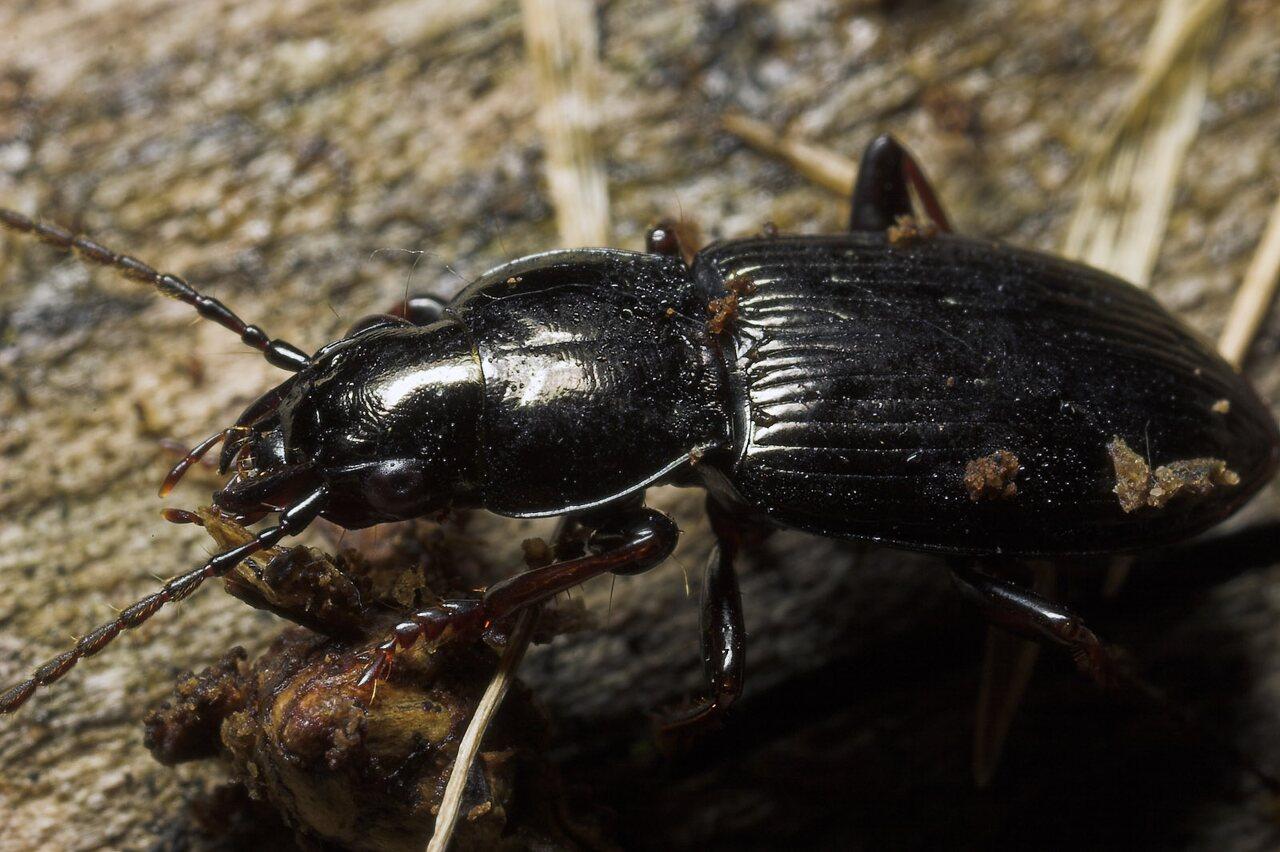 Carabidae-8688.jpg