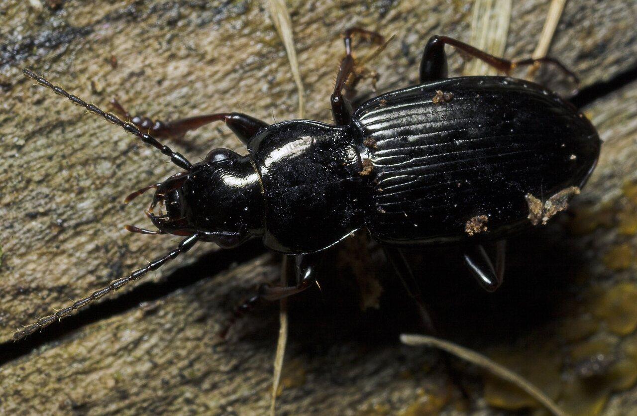 Carabidae-8691.jpg