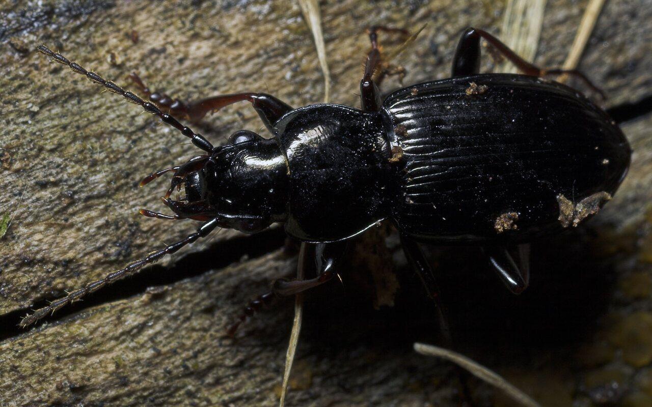 Carabidae-8692.jpg