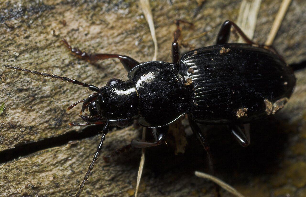 Carabidae-8693.jpg