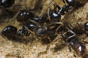 ants attacking Scolytinae sp. 8703