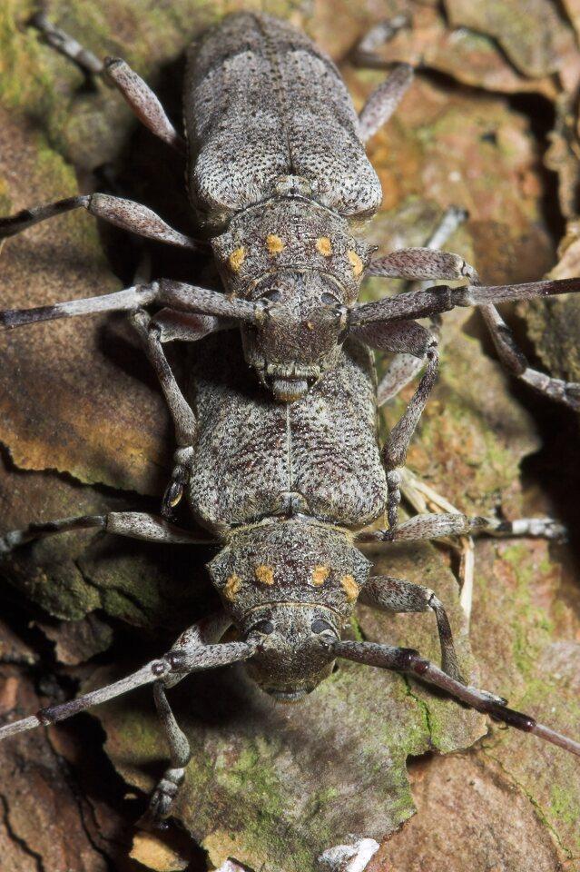 Acanthocinus-aedilis-8709.jpg
