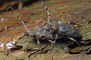 Acanthocinus aedilis mating · ilgaūsis pušiagraužis poruojasi