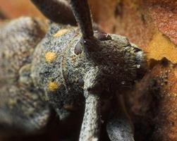 Acanthocinus aedilis · ilgaūsis pušiagraužis