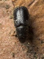 Scolytinae sp. · kinivarpa