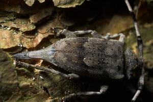 Acanthocinus aedilis laying eggs · ilgaūsis pušiagraužis deda kiaušinius ♀