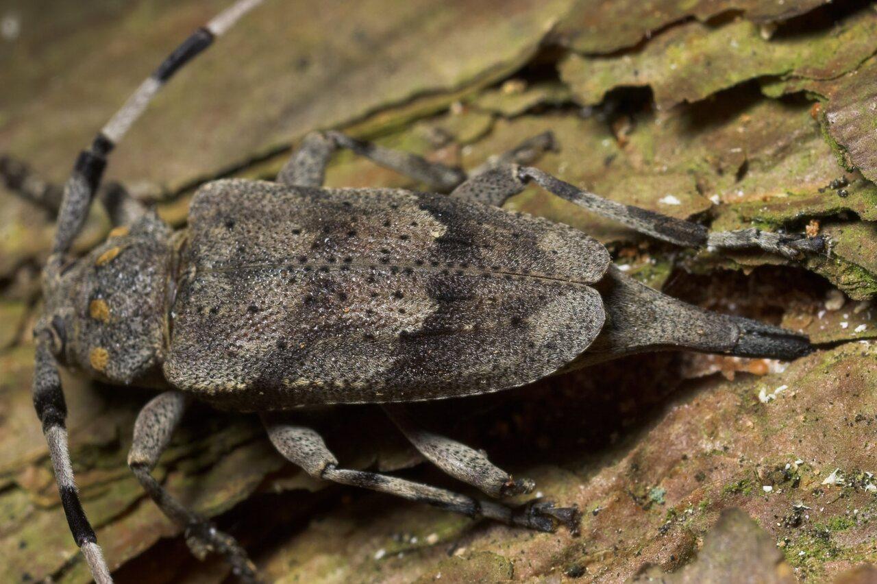 Acanthocinus-aedilis-8743.jpg