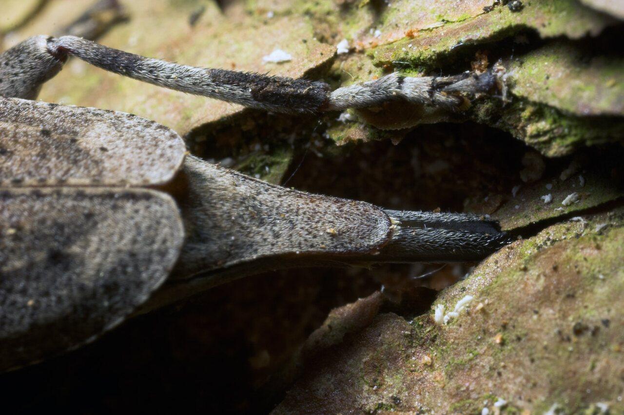 Acanthocinus-aedilis-8744.jpg