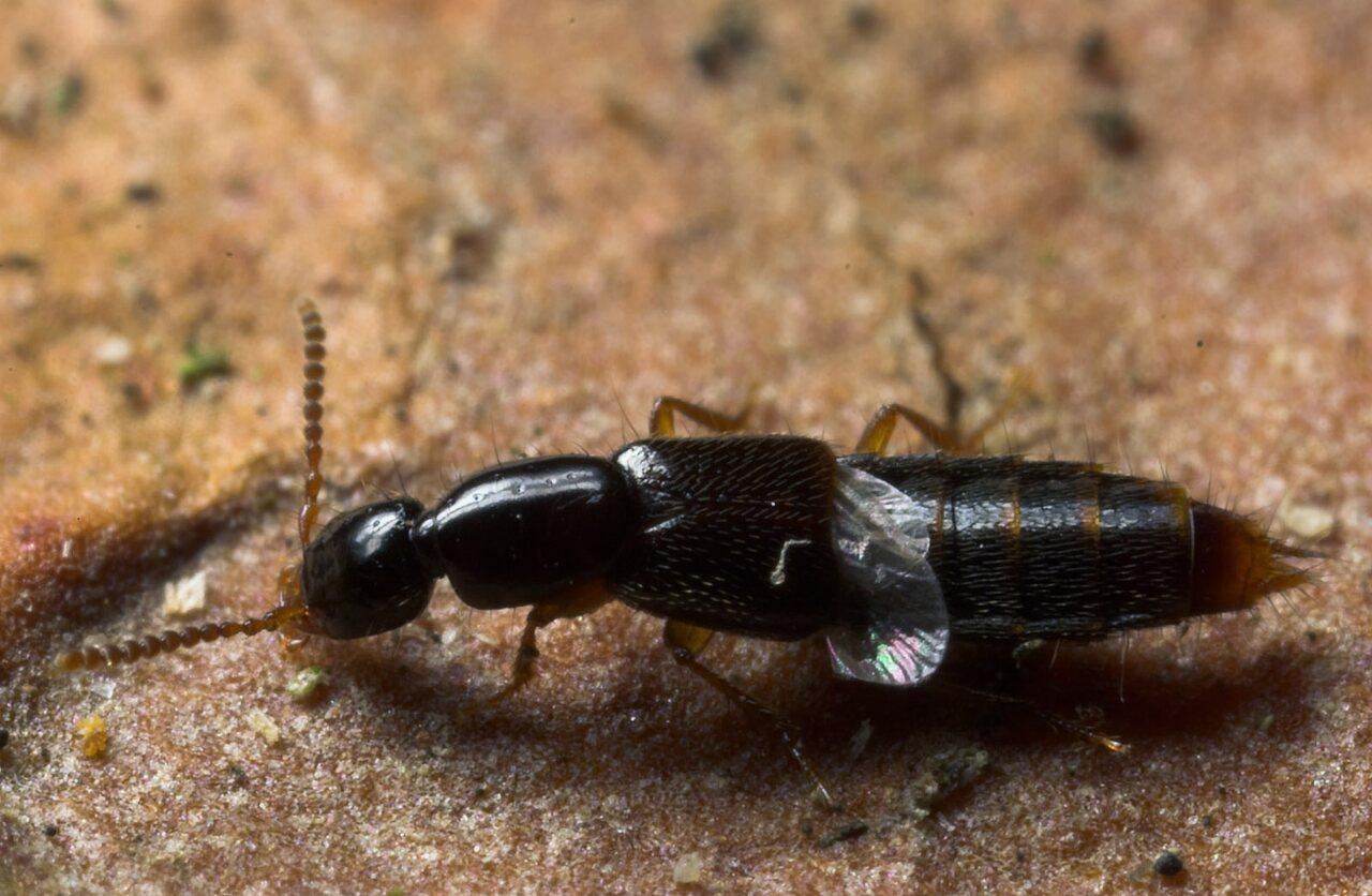 Staphylinidae-8746.jpg