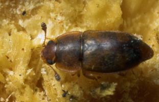Epuraea pallescens · žvilgiavabalis 8753
