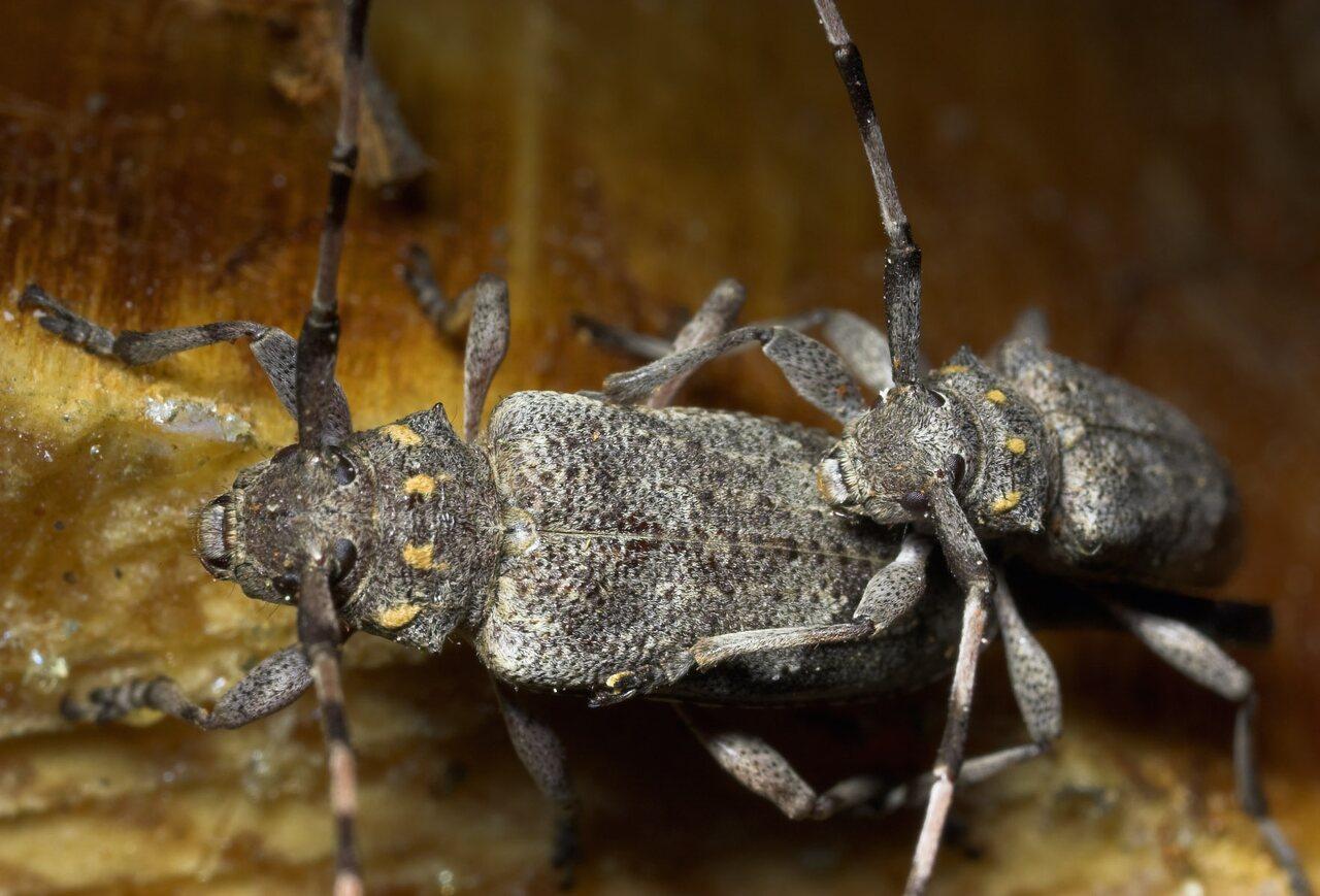 Acanthocinus-aedilis-8762.jpg