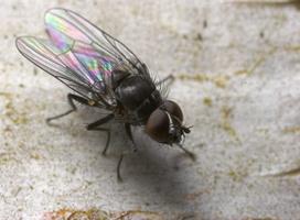 Diptera 8805