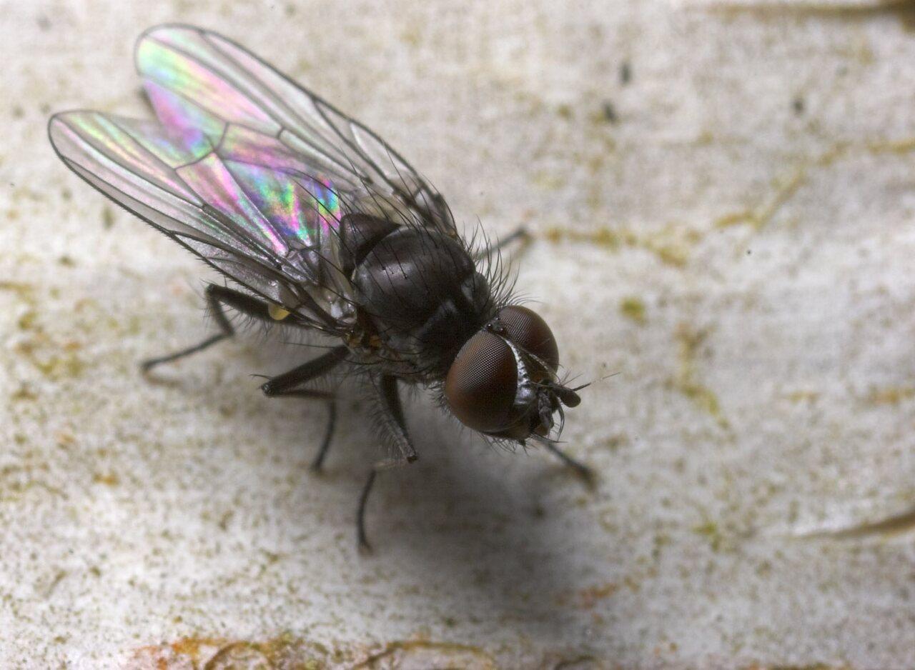 Diptera-8805.jpg
