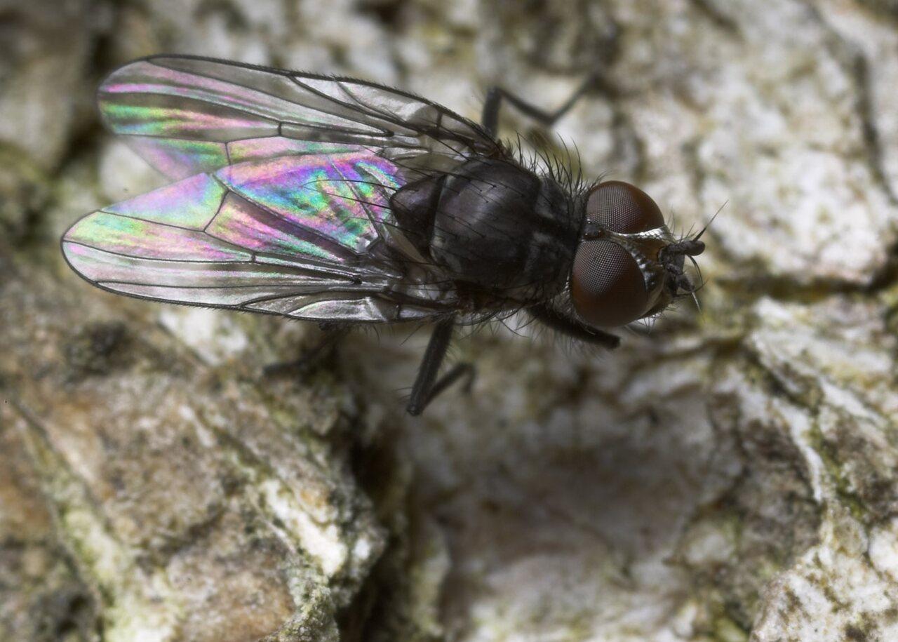Diptera-8806.jpg
