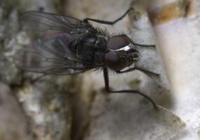 Diptera 8807